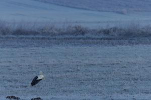 Einsamer Weißstorch
