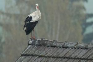 Weißstorch, Ciconia ciconia, White stork, Klapperstorch, Rottal