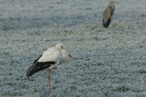 Weißstorch bei Frost im Rottal bei Bad Birnbach