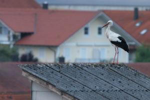 Ciconia ciconia, Weißstorch, White Stork